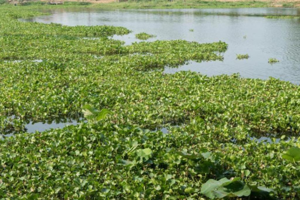 Jacintos-de-Água podem ter Originado a Alteração da Qualidade das Águas Balneares